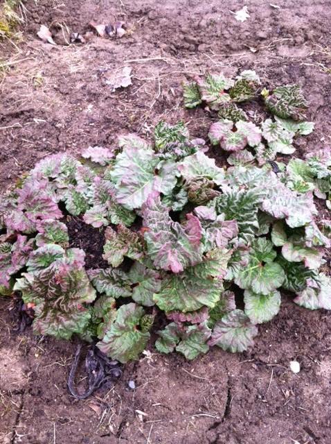 Rhubarb, 2013