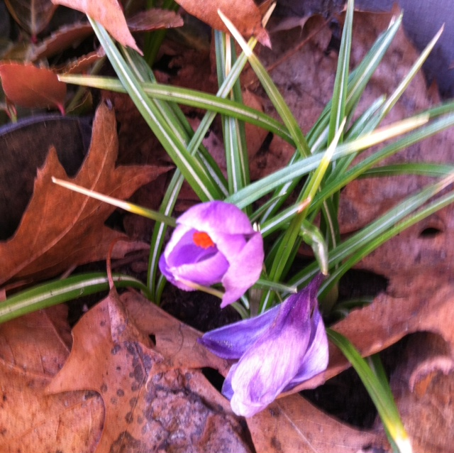 Peek Crocus