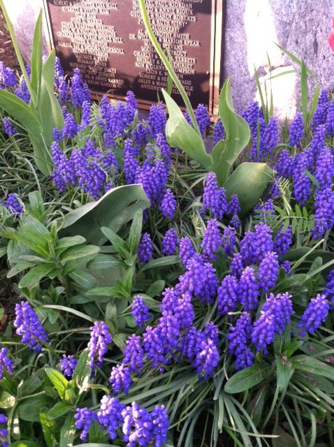 Purple Muscari