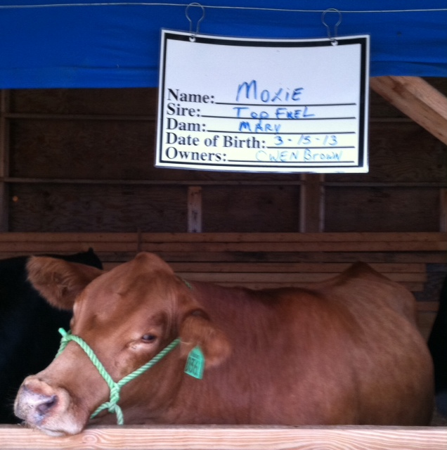A Cow Called Moxie