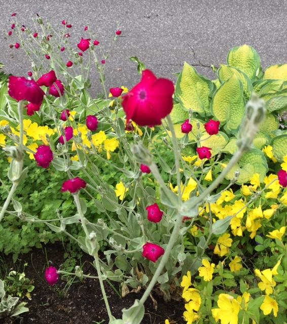 Rose Campion